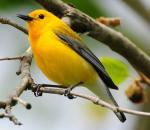 Prothonotary Warbler - Bird Species | Frinvelis jishebi | ფრინველის ჯიშები
