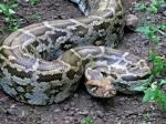 Python molurus molurus - Indian Rock Python | Snake Species