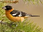 Black-headed Grosbeak - Bird Species | Frinvelis jishebi | ფრინველის ჯიშები
