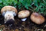 Agaricus lilaceps - Fungi Species