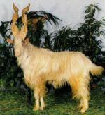 Girgentana Goat - Goats Breeds | txis jishebi | თხის ჯიშები