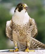 Peregrine Falcon - Bird Species | Frinvelis jishebi | ფრინველის ჯიშები