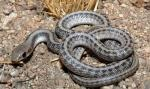 Salvadora hexalepis mojavensis - Mohave Patch-nosed Snake | Snake Species