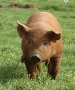 Red Wattle - pig breeds | goris jishebi | ღორის ჯიშები