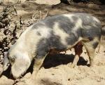 Dermantsi Pied - pig breeds | goris jishebi | ღორის ჯიშები