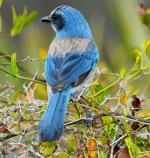 Florida Scrub-Jay - Bird Species | Frinvelis jishebi | ფრინველის ჯიშები