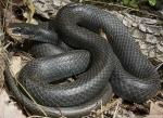 Coluber constrictor priapus - Southern Black Racer | Snake Species