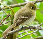 Pacific-slope Flycatcher - Bird Species | Frinvelis jishebi | ფრინველის ჯიშები