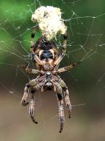 Furrow Orbweaver | Spider species
