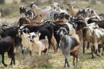 Canary Island Goat - Goats Breeds | txis jishebi | თხის ჯიშები