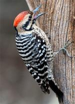 Ladder-backed Woodpecker - Bird Species | Frinvelis jishebi | ფრინველის ჯიშები