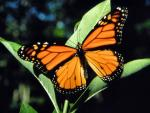 Monarch | Butterfly species