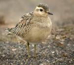 Eurasian Dotterel - Bird Species | Frinvelis jishebi | ფრინველის ჯიშები