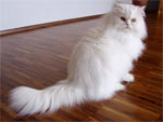 Persian | Cat | Cat Breeds