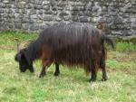Pyrenean Goat - Goats Breeds | txis jishebi | თხის ჯიშები