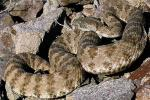 Crotalus angelensis - Isla Angel de la Guarda Rattlesnake | Snake Species