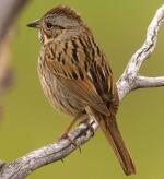 Lincoln's Sparrow - Bird Species | Frinvelis jishebi | ფრინველის ჯიშები