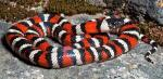 Lampropeltis zonata multicincta - Sierra Mountain Kingsnake | Snake Species
