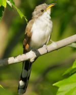 Yellow-billed Cuckoo - Bird Species | Frinvelis jishebi | ფრინველის ჯიშები