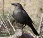 Brewer's Blackbird - Bird Species | Frinvelis jishebi | ფრინველის ჯიშები