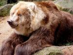 Kodiak Bear - bears species | datvis jishebi | დათვის ჯიშები