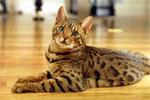 Bengal | კატა | კატები | კატის ჯიშები