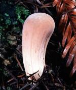 Clavariadelphus occidentalis - Fungi Species