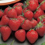 Irresistible | Strawberry Species