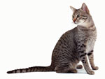 Egyptian Mau | Cat | Cat Breeds