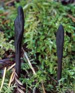 Black Earth Tongue: Geoglossum fallax - Fungi Species