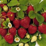 Ovation - Strawberry  Varieties List list a - z