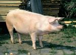 Czech Improved White - pig breeds | goris jishebi | ღორის ჯიშები