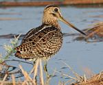Pin-tailed Snipe - Bird Species | Frinvelis jishebi | ფრინველის ჯიშები
