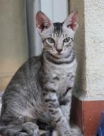 Arabian mau | კატა | კატები | კატის ჯიშები