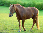 New Forest | Horse | Horse Breeds