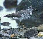 Gray-tailed Tattler - Bird Species | Frinvelis jishebi | ფრინველის ჯიშები