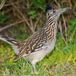 Greater Roadrunner - Bird Species | Frinvelis jishebi | ფრინველის ჯიშები