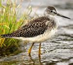 Greater Yellowlegs - Bird Species | Frinvelis jishebi | ფრინველის ჯიშები