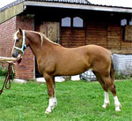 Welsh Section A and B | Horse | Horse Breeds