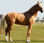 Anglo-Luso Horse | Horse | Horse Breeds