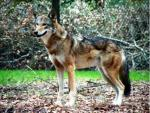 The Florida Red Wolf - wolf species | mglis jishebi | მგლის ჯიშები