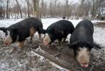 Berkshire - pig breeds | goris jishebi | ღორის ჯიშები