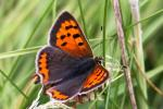 Small Copper | Butterfly species