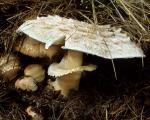 Chlorophyllum brunneum - Fungi Species