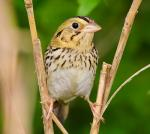 Henslow's Sparrow - Bird Species | Frinvelis jishebi | ფრინველის ჯიშები