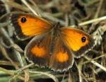 Gatekeeper - Butterfly species | PEPLIS JISHEBI | პეპლის ჯიშები