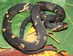Nerodia fasciata - Southern Watersnake | Snake Species
