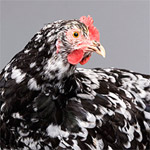 Java | Chicken | Chicken Breeds