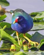 Purple Gallinule - Bird Species | Frinvelis jishebi | ფრინველის ჯიშები