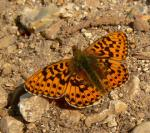 Pearl-b Fritillary | Butterfly species